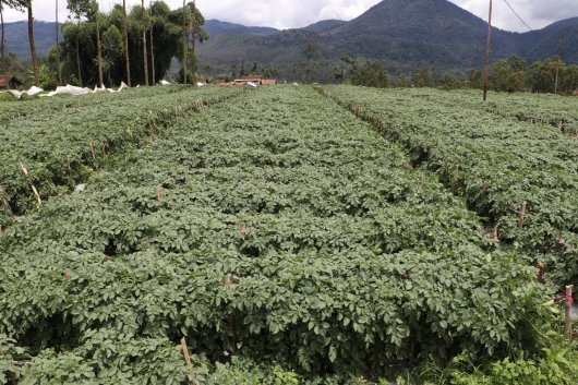 Seed potatoes in Indonesia
