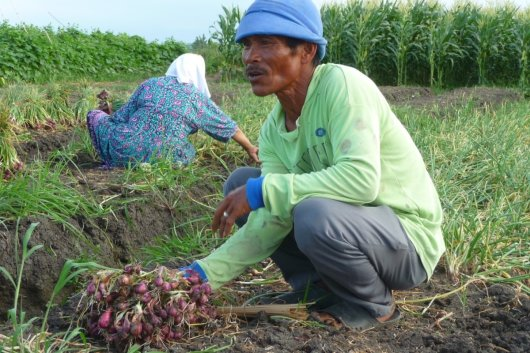 Shallots in Indonesia